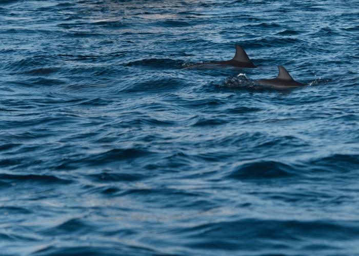 Avistamiento de ballenas y delfines + snorkel con tortugas en el sur de Tenerife