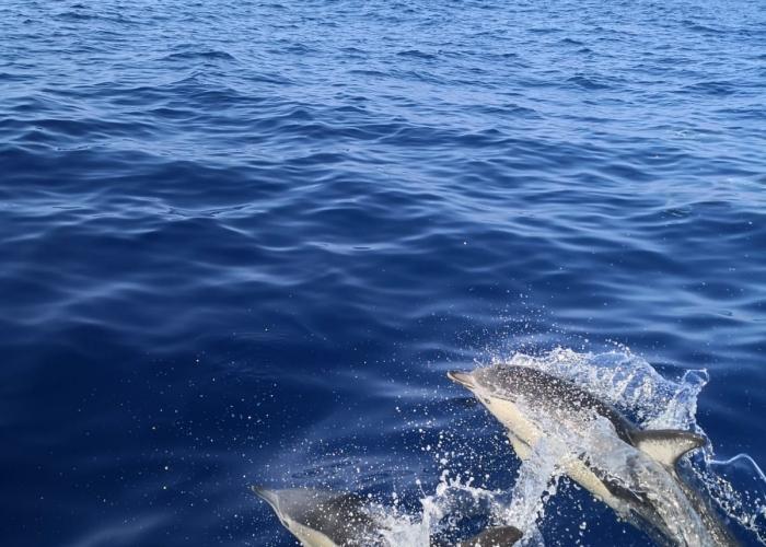 Avistamiento de delfines y ballenas con patrón local en el sur de Tenerife