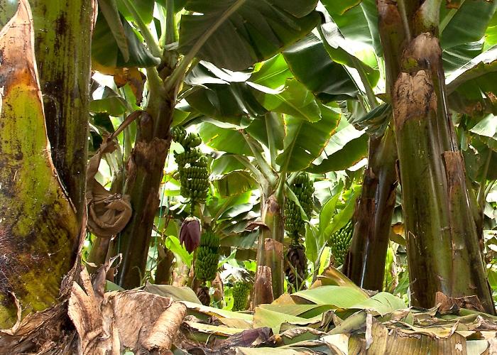 Visita a una finca de plátanos con degustación de productos locales