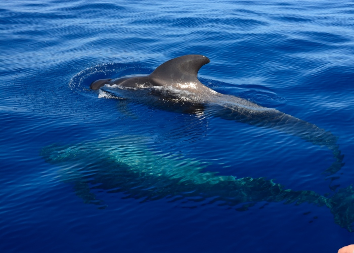 Whale and dolphin watching in the south of Tenerife